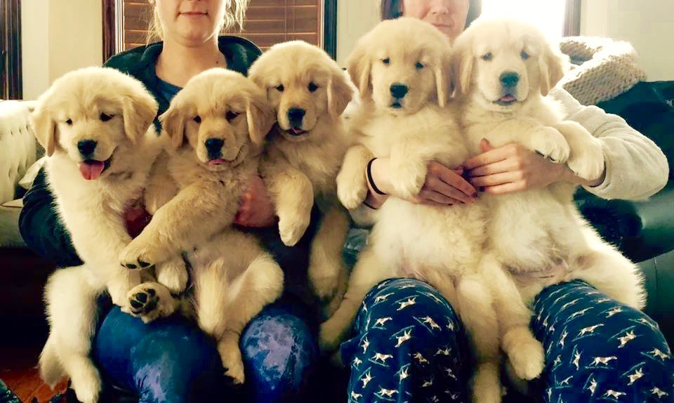 Litters Puppies Poeticgold Farm
